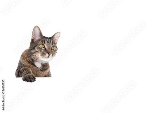 Fotomural Studio shot of a tabby domestic shorthair cat isolated on white background banne