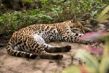 Beautiful Young Male Leopard S...