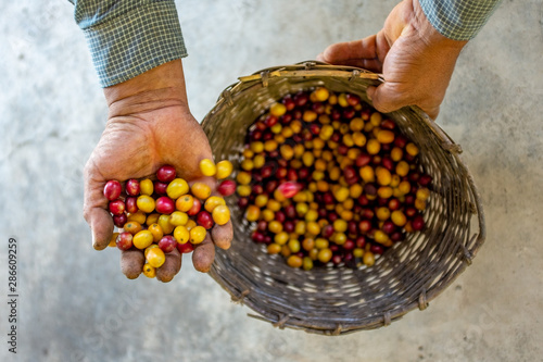 Fotografía  Farmer Showing his Yellow and Red Organic Coffee Fruit Harvest in Coroico, Boliv