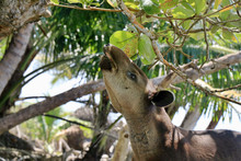 A Rare, Endangered Baird's Tapir (Tapirus Bairdii) On A Beach In The Corcovado National Park, On The Osa Peninsula In Puntarenas Province, Costa Rica.