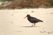 New Zealand Bird Variable Oystercatcher On The Beach