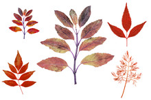 Red Autumn Leaves Isolated Illustrate Graphic White Background For Design Work