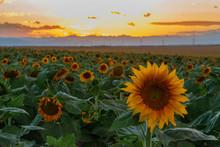 Sunflower Field Of Sunflowers Setting Sun