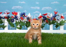 Orange Ginger Tabby Kitten Sitting In Backyard On Green Grass With White Picket Fence Red White And Blue Flowers, Sky Background With Clouds.