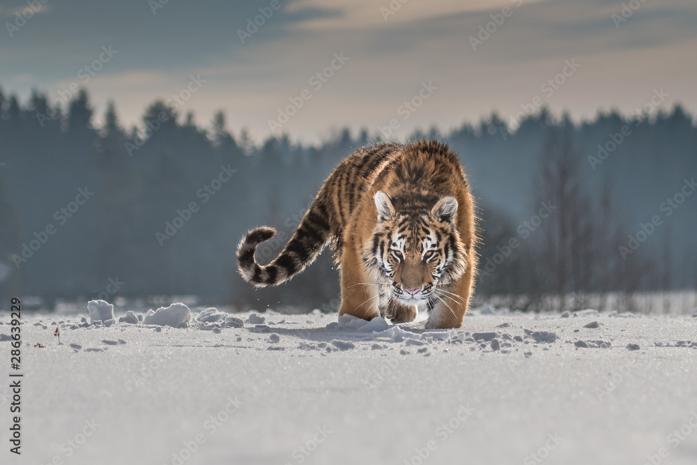 Fototapeta Siberian Tiger running in snow. Beautiful, dynamic and powerful photo of this majestic animal. Set in environment typical for this amazing animal. Birches and meadows
