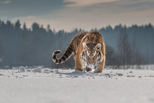 Siberian Tiger Running In Snow...