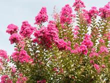 Lagerstroemia Indica Rose Fuchsia - Lilas D'été Rose Fuchsia. Superbe Arbuste Ornemental Aux Panicules Florales De Coloris Varié, Rose Clair, Pourpre Ou Carmin, Feuillage Vert Foncé.