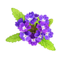 Purple Verbena Flowers And Lea...