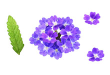 Set Of Purple Verbena Flowers ...