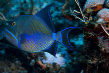 A Beautiful Queen Triggerfish In The Clear Waters Of The Turks And Caicos Islands.