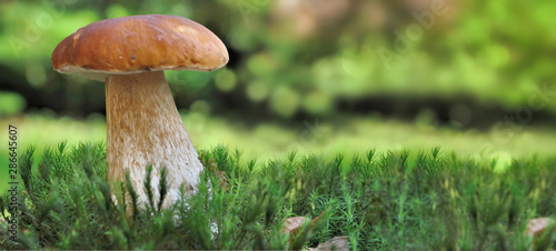Leinwand Poster panoramic view on a beautiful mushroom boletus onthe moss in forest