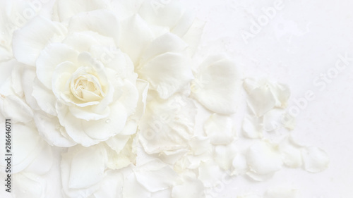 Foto op Canvas Roses Beautiful white rose and petals on white background. Ideal for greeting cards for wedding, birthday, Valentine's Day, Mother's Day