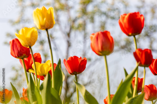 Poster Printemps Red and yellow tulips on a green background