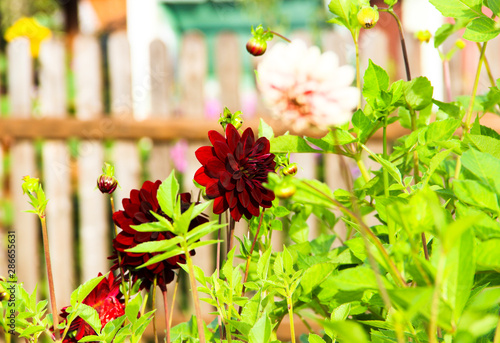 Foto Nature concept-beautiful autumn landscape with dahlia flowers on green blurred background