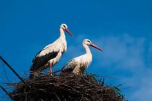 Stork Birds On The Nest On A Beautiful Day On The Blue Sky Background