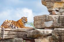 Bengal Tiger In Shanghai Safari Park