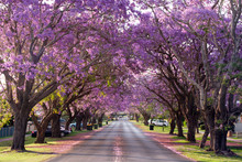 Jacaranda Trees In Full Blosso...