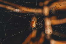 Spider On The Web Is Covered W...
