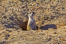 Watchful Meerkat Poking Head Out Of Den