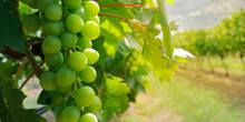 Cluster Of Green Grapes On A V...
