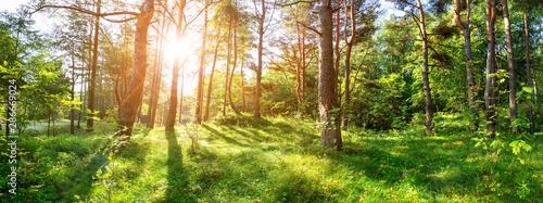 pine trees in morning light