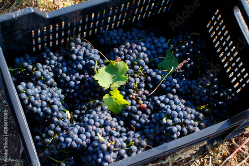 Fotografia Vendemmia - grape harvest in a vineyard