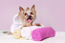 Happy Little Yorkshire Terrier In White Bathrobe Sitting On Towels