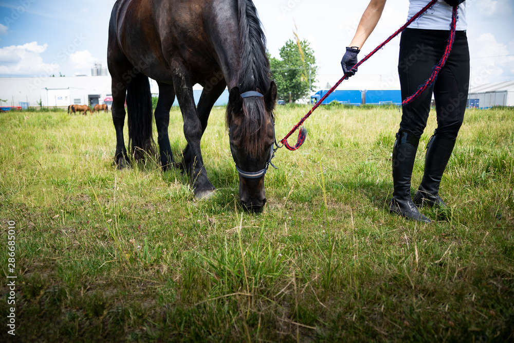 Fototapety, obrazy: Grazing horse on a pasture. A woman leads a horse in a meadow