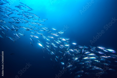 Fotografia lot of small fish in the sea under water / fish colony, fishing, ocean wildlife