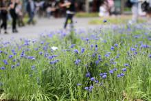 Cornflowers For Greener City W...