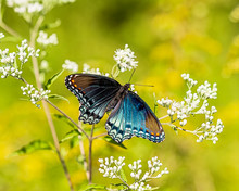 A Beautiful Red-spotted Purple...