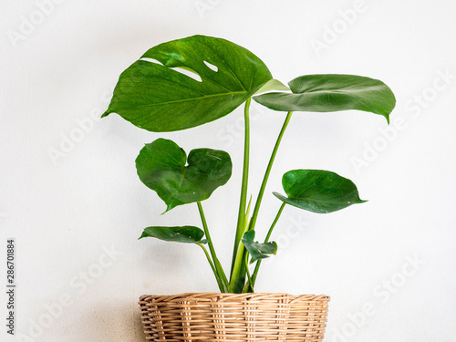 Poster Vegetal moastera plan in pot isolated on white background