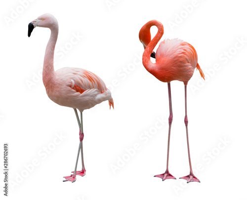 Garden Poster Flamingo Caribbean Flamingos isolated on white background.