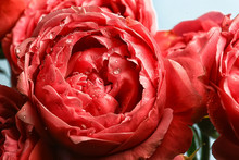 Background Fold Flower Macro / Red Flower, Abstract Aroma Background Gentle Summer Rose