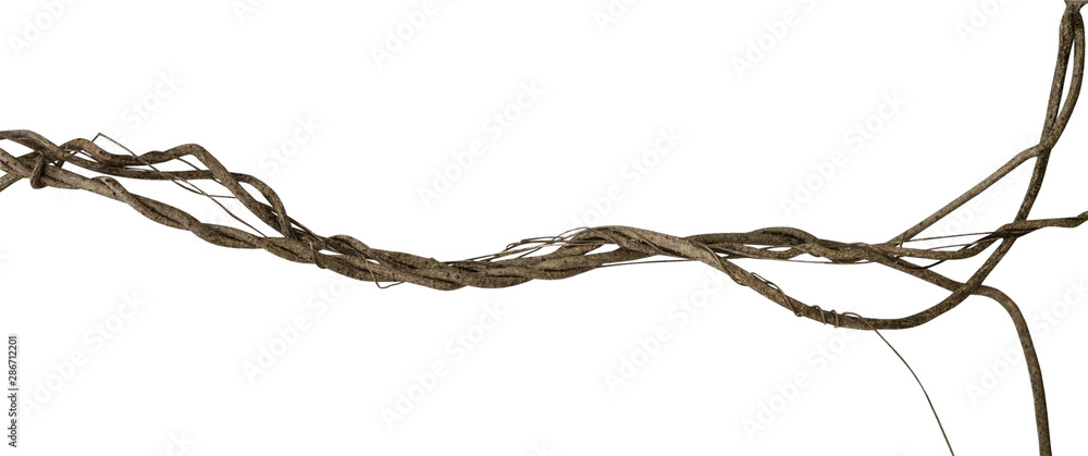 Fototapeta Twisted dried wild liana jungle vine tropical plant isolated on white background, clipping path included