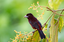 A Silver-beaked Tanager Feeding On Miconia Berries In The Rain Forest Of Trinidad