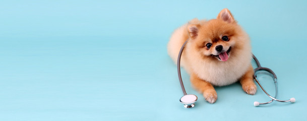 FototapetaCute little pomeranian dog with stethoscope as veterinarian on blue background.