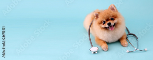 plakat Cute little pomeranian dog with stethoscope as veterinarian on blue background.