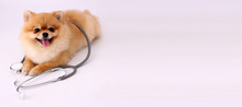 Cute Little Pomeranian Dog With Stethoscope As Veterinarian On White Background.