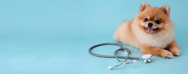 Śliczny mały pomeranian pies z stetoskopem jako weterynarz na błękitnym tle.
