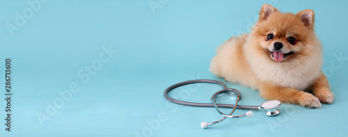 Cute little pomeranian dog with stethoscope as veterinarian on blue background. © Justinboat29