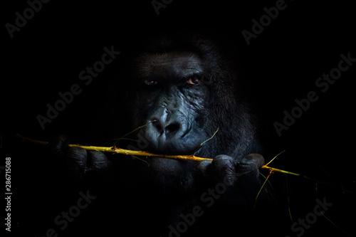 Fotografía Gorilla black background