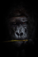 Gorilla Black Background