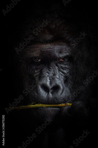 Papiers peints Singe Gorilla black background