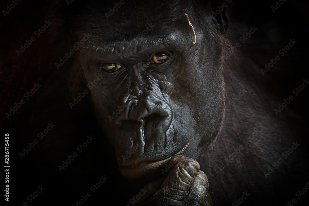 Fototapety, obrazy: Gorilla black background