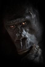 Gorilla Black Background