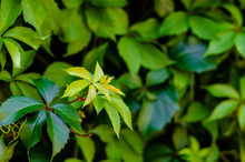 Parthenocissus Quinquefolia, Known As Virginia Creeper, Victoria Creeper, Five-leaved Ivy, Or Five-finger, Is A Species Of Flowering Plant In The Grape Family, Vitaceae.