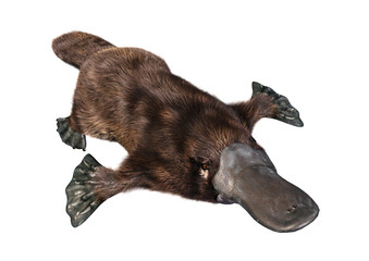 3D Rendering Platypus on White