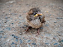Dirty And Lonely Little Sparrow Sitting On The Pavement