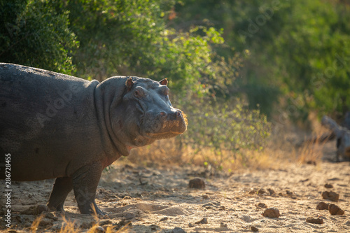 Poster Rhino Hippo resting out side of the water having been chased out of the water by the territorial bull